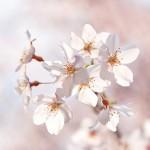 東京・お花見女子会で桜を味わう スイーツカクテル